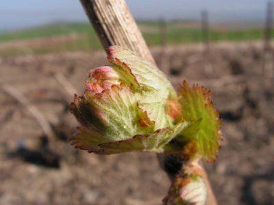 ぶどうの芽吹き。春ですね!